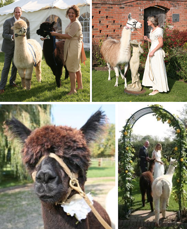 images/advert_images/asain-weddings_files/alpacas 1.png