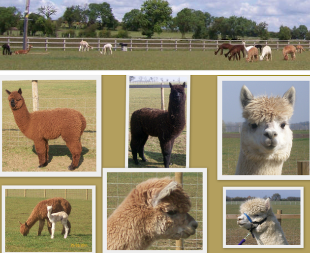 images/advert_images/asain-weddings_files/cotswolds alpacas 1.png